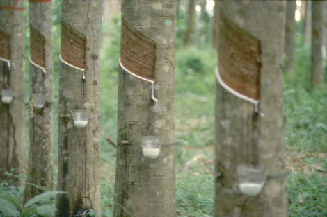 Rubber tree plantation on Ko Mook island