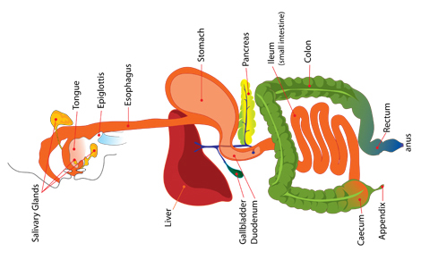Digestive system. Copyright © 2013 Health, Medicine and Anatomy Reference Pictures.